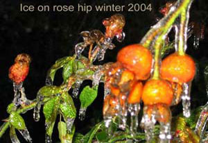 ice on rose hip by Carolyn Munn